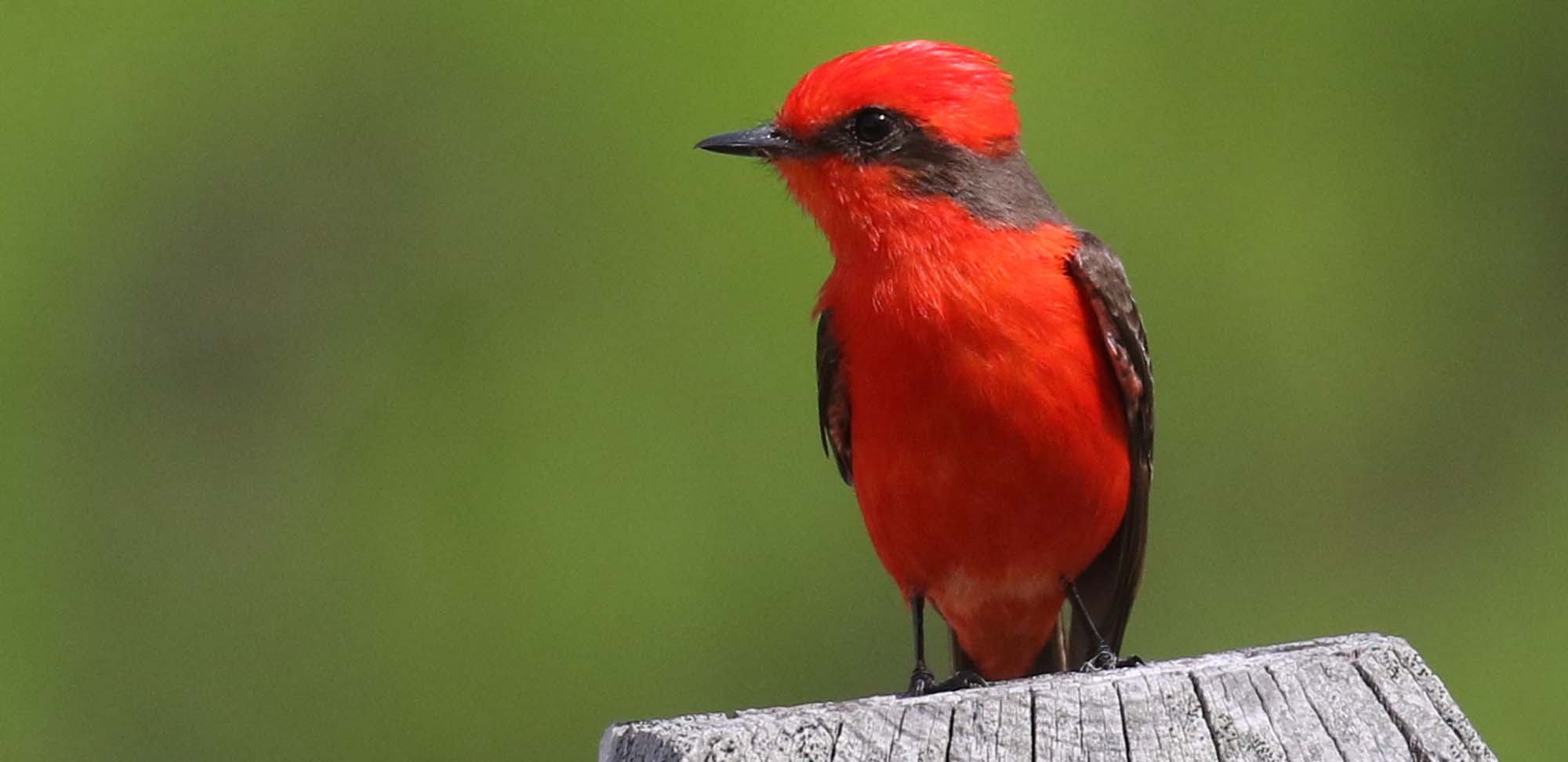 Vermilion Flycatcher Field Guides Birding Tours TEXAS USA
