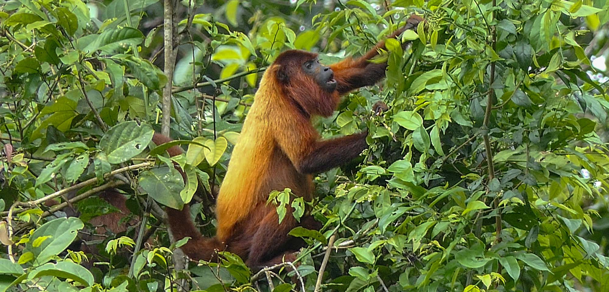 Red Howler Monkey Field Guides Birding Tours Suriname