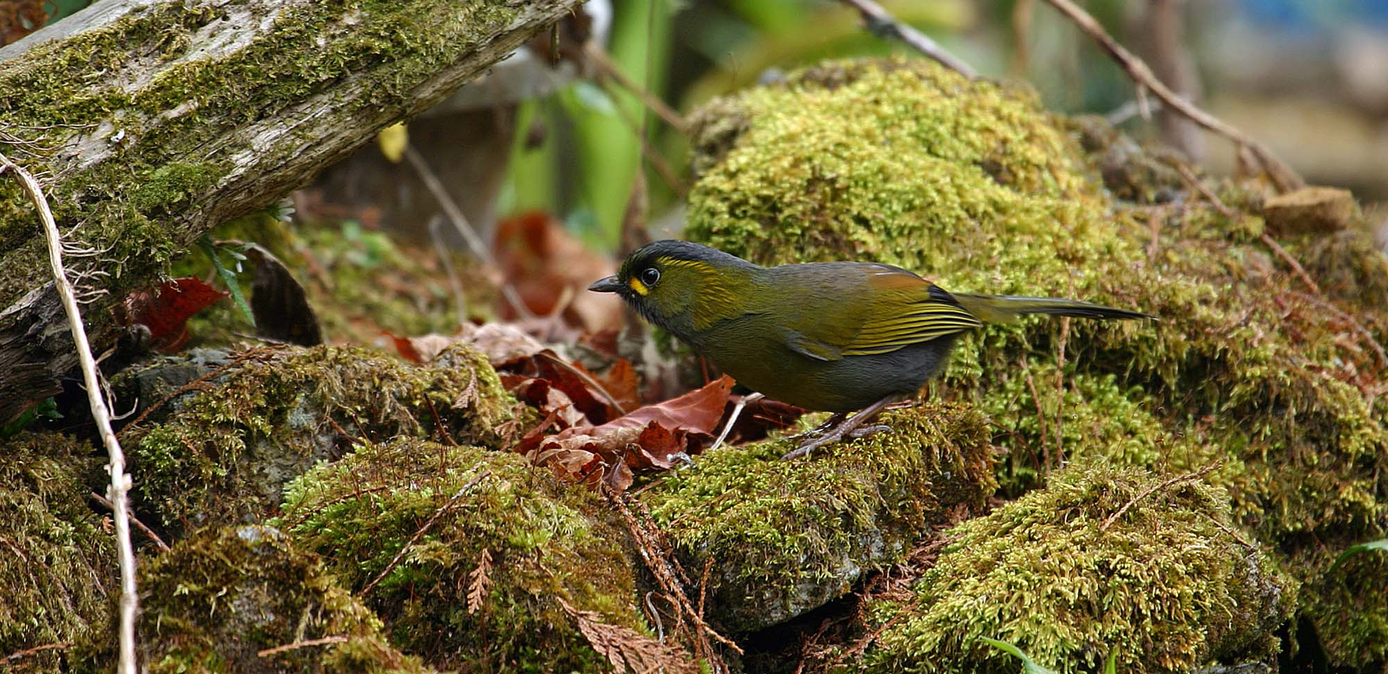 Steeres Liocichla Field Guides Birding Tours Taiwan