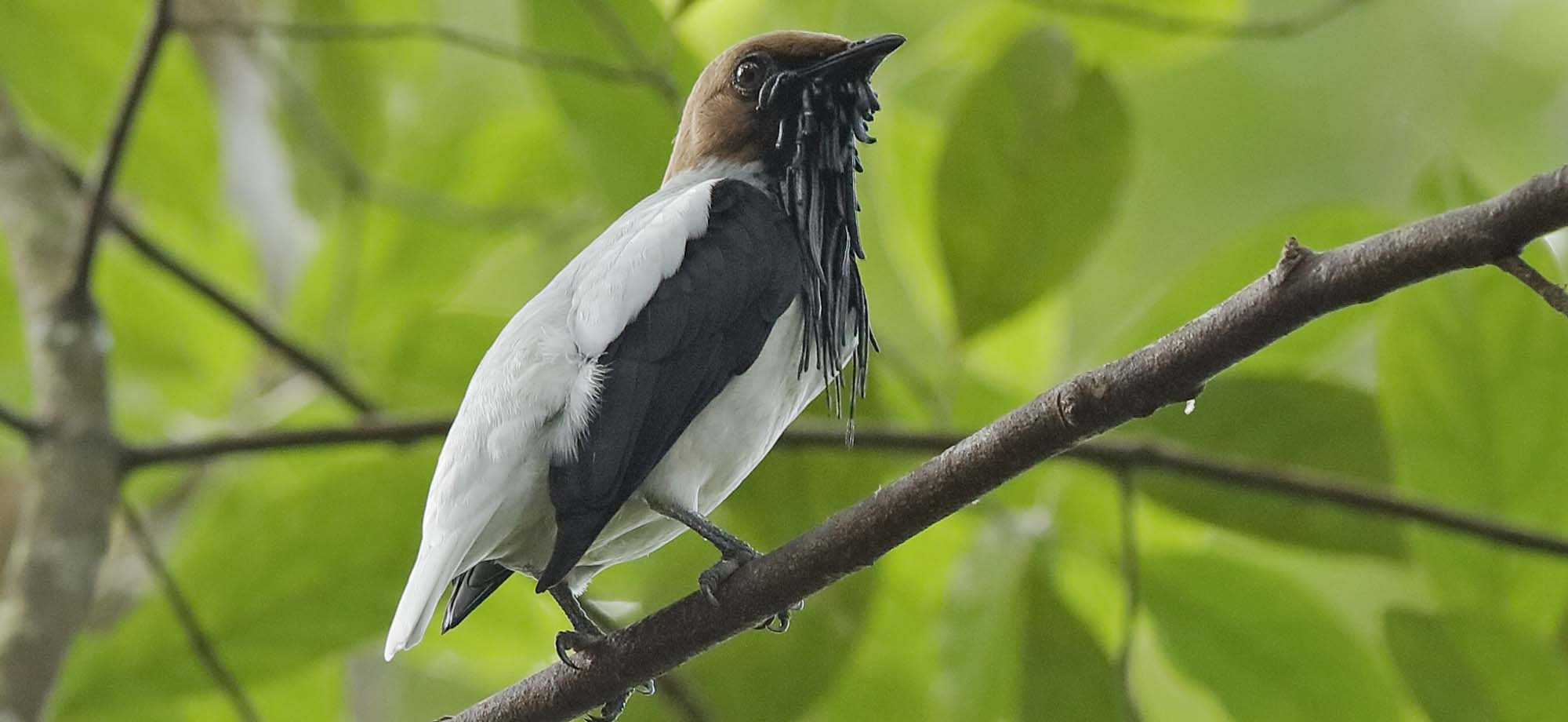 Bearded Bellbird Field Guides Birding Tours Trinidad
