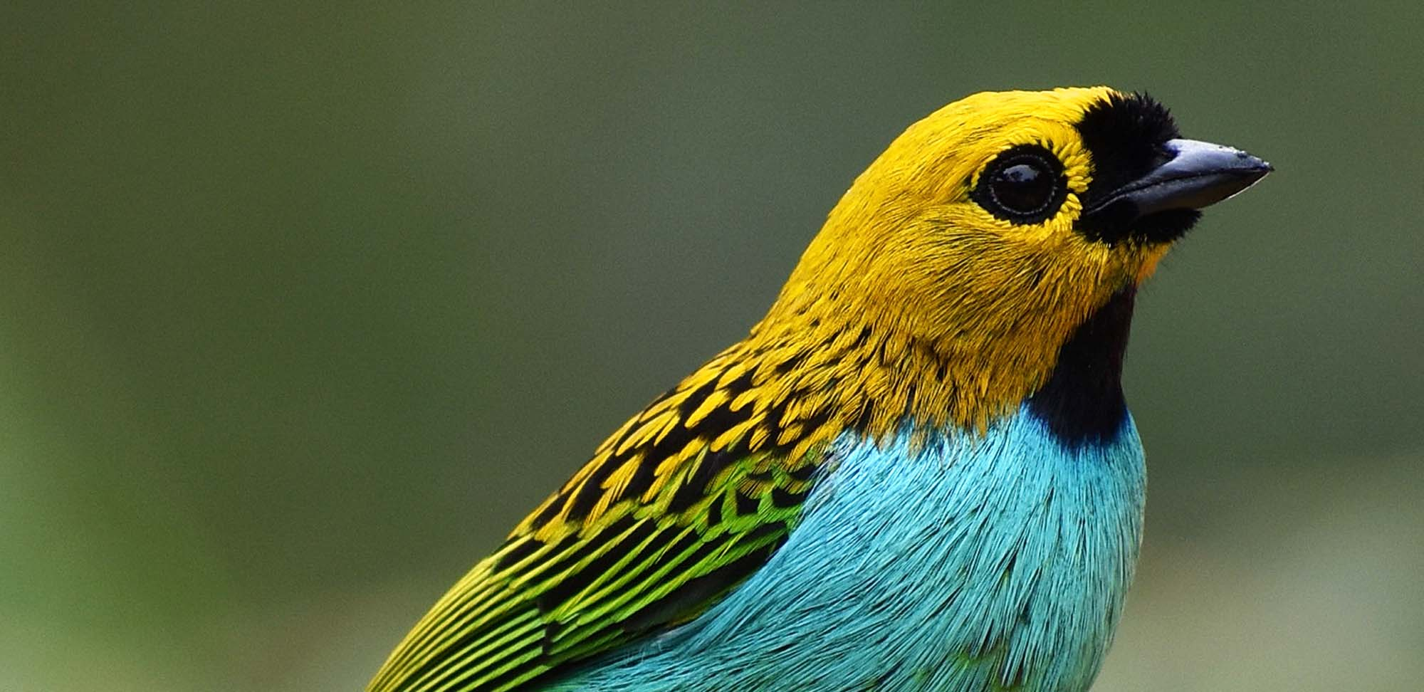 Gilt-edged Tanager Field Guides Birding Tours Brazil