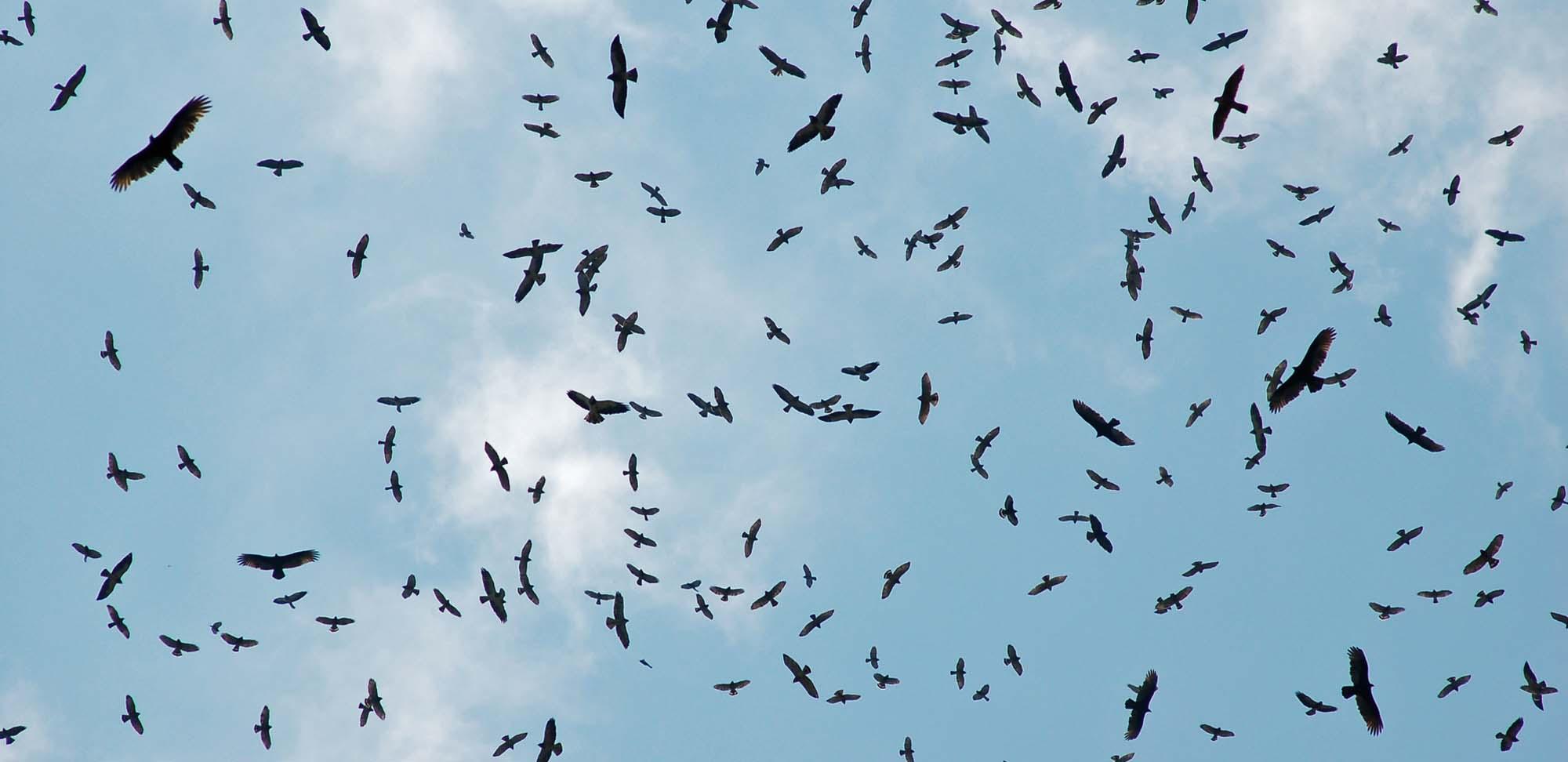 raptors Field Guides Birding Tours Mexico