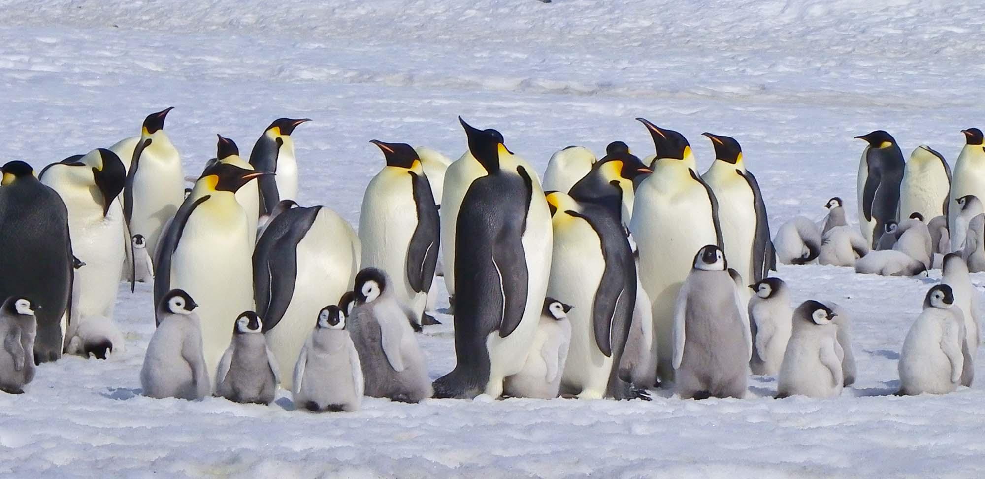 Emperor Penguin Field Guides Birding Tours Antarctica
