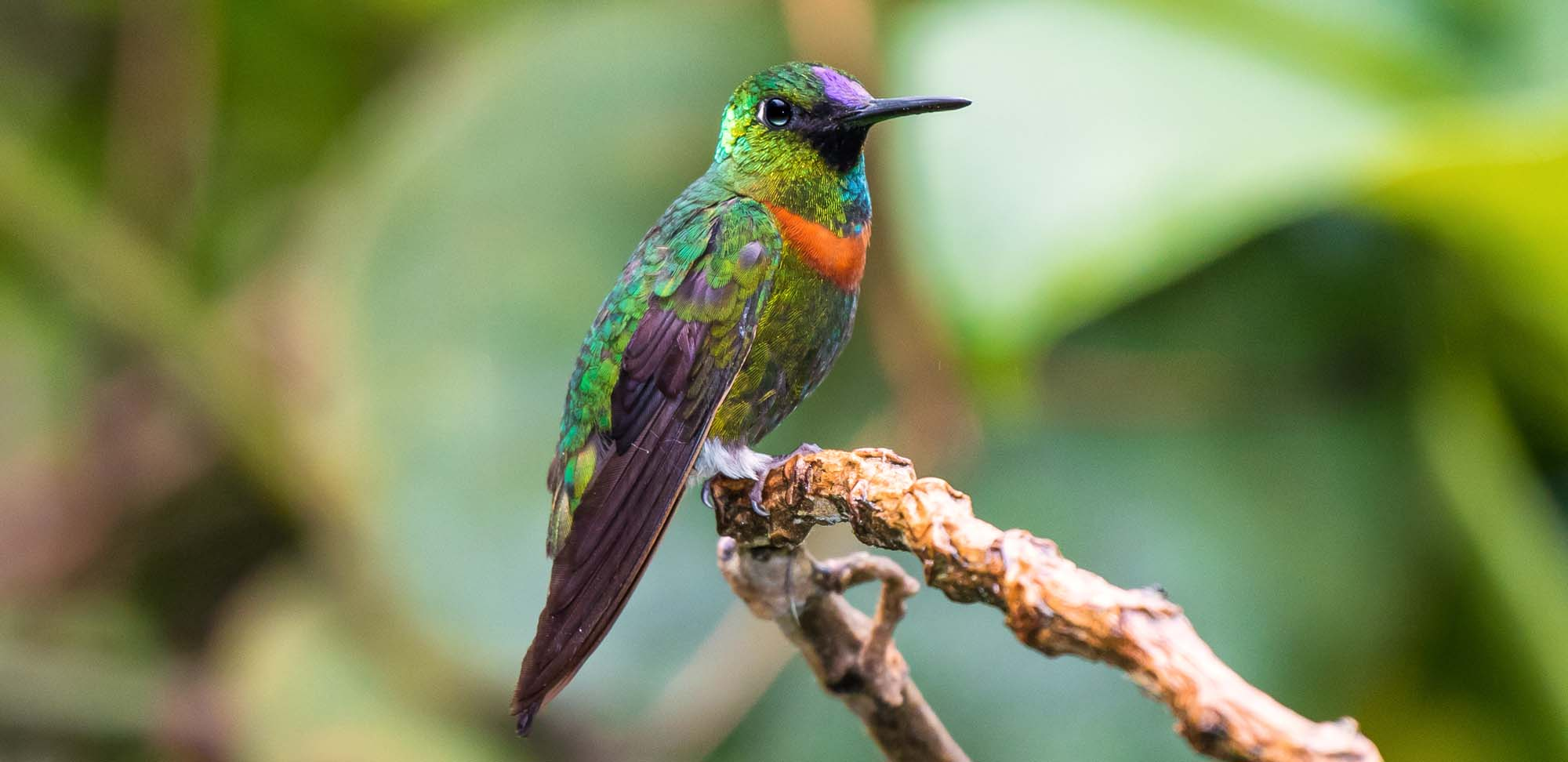Goulds Jewelfront Field Guides Birding Tours Ecuador
