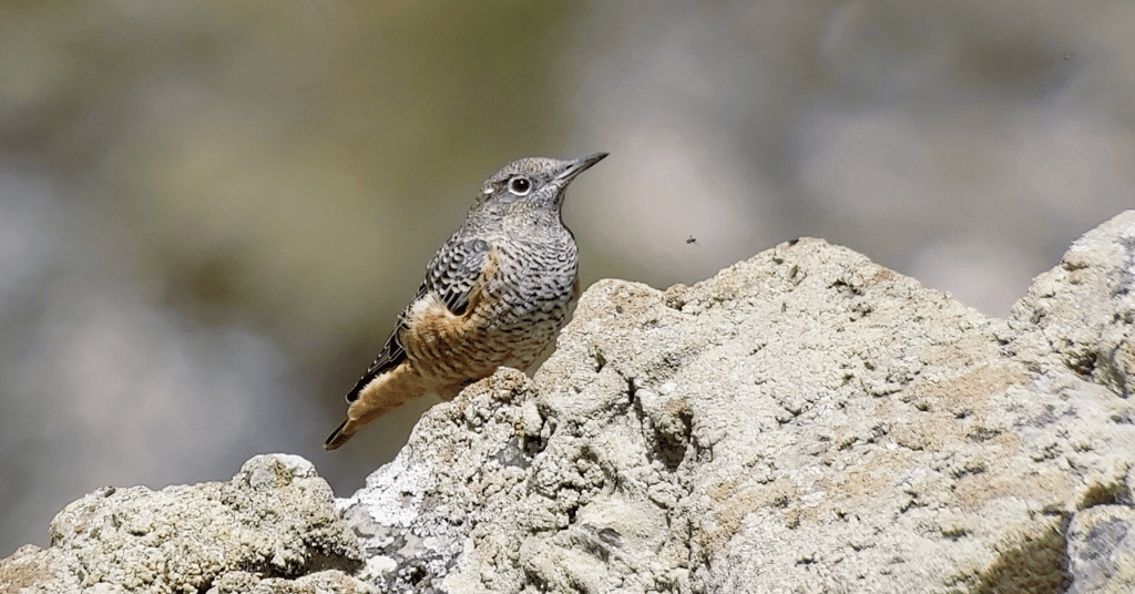 France with Field Guides Birding Tours